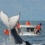 Des « CATS » sur le dos des baleines à bosse