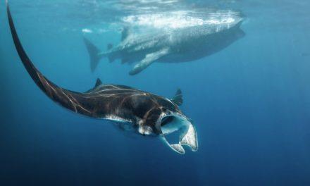 Les raies manta et les requins baleines maintenant protégés au Mozambique