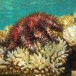 Reef Conservation combat l'Acanthaster