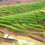 Production agricole : le riz hybride comme solution ?