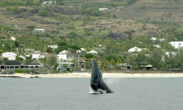 Observer cétacés et tortues marines à La Réunion en toute Quiétude