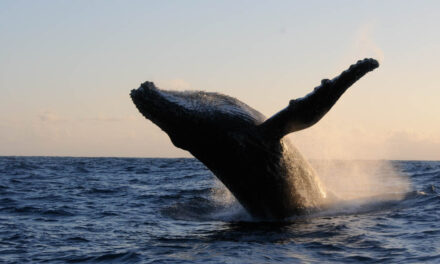 Rendez-vous le 30 septembre pour sauver les baleines à bosse
